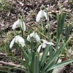 Snowdrops at Beefayre