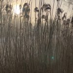 Reeds in the Mist